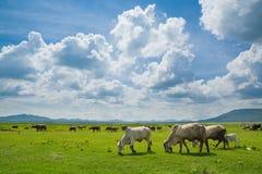 Коровы есть траву в зеленом поле Стоковое Фото