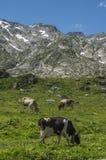 Коровы есть траву на высокогорной горе Стоковые Фотографии RF