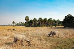 Коровы есть траву на поле в Камбодже Стоковая Фотография
