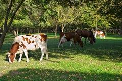 Коровы есть траву на поле окруженном древесинами Стоковая Фотография