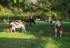 Коровы есть траву на поле окруженном древесинами Стоковая Фотография RF
