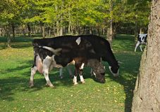 Коровы есть траву на поле окруженном древесинами Стоковое Фото
