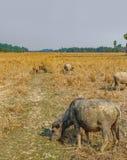 Коровы есть траву на поле в Камбодже Стоковые Фото