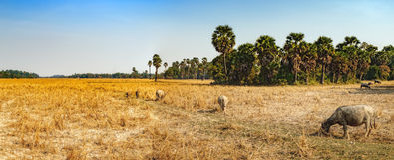 Коровы есть траву на поле в Камбодже Стоковые Изображения
