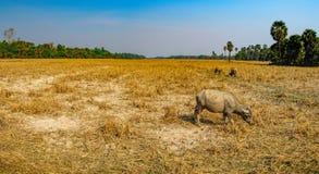 Коровы есть траву на поле в Камбодже Стоковое Изображение RF