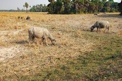 Коровы есть траву на поле в Камбодже Стоковое фото RF