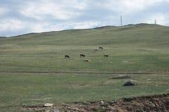 коровы есть траву Стоковое Фото
