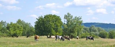 коровы есть траву Стоковая Фотография RF