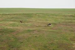 2 коровы есть травы Стоковое фото RF
