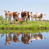 Коровы детенышей в зеленом травянистом луге кв Стоковая Фотография