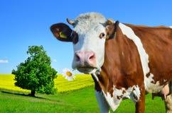 Коровы детенышей пася на зеленом луге Стоковое Фото