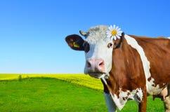 Коровы детенышей пася на зеленом луге Стоковые Изображения
