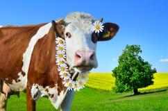 Коровы детенышей пася на зеленом луге Стоковое фото RF