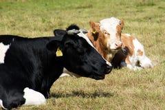 Коровы, животноводческие фермы, в луге коровы пася лужок солнечно Стоковые Фотографии RF