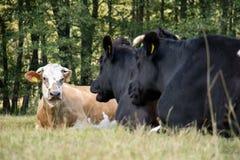 Коровы, животноводческие фермы, в луге коровы пася лужок солнечно Стоковая Фотография