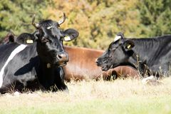 Коровы, животноводческие фермы, в луге коровы пася лужок солнечно Стоковые Изображения RF