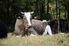 Коровы, животноводческие фермы, в луге коровы пася лужок солнечно Стоковое Изображение