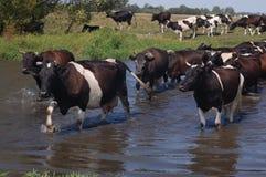 Коровы идут водой Стоковые Фотографии RF