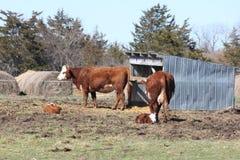 Коровы & икры Hereford Стоковое Фото