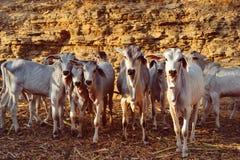Коровы икр, икры и младенца Стоковая Фотография RF