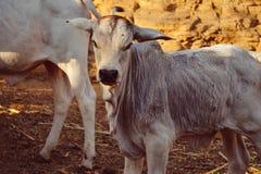 Коровы икр, икры и младенца Стоковое Изображение