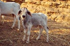 Коровы икр, икры и младенца Стоковое Фото