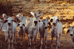 Коровы икр, икры и младенца Стоковые Изображения