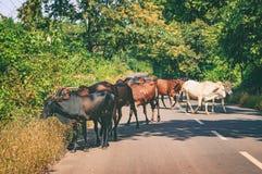 Коровы индейца на дороге деревни в Goa, Индии Стоковое фото RF
