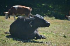 Коровы и буйвол иметь молока и жиреть, Стоковое Изображение