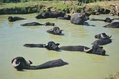 Коровы и буйвол иметь молока и жиреть, Стоковые Фото
