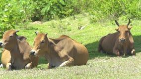 Коровы и быки лежа на зеленом луге на выгоне лета Коровы табунят отдыхать на зеленом поле в обрабатывая землю поголовье на лете видеоматериал