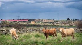 Коровы и быки на выгоне, сочной зеленой траве Стоковое Изображение RF