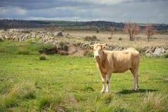 Коровы и быки на выгоне, сочной зеленой траве Стоковое Изображение