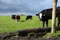 Коровы и быки на зеленом поле Стоковое Изображение