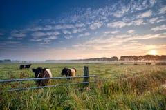 Коровы и бык на выгоне на восходе солнца Стоковые Изображения RF