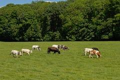 Коровы и бык Friesian Гольштейна пася в луге Стоковое фото RF