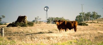 Коровы и ветрянка в сельской местности Стоковые Изображения RF