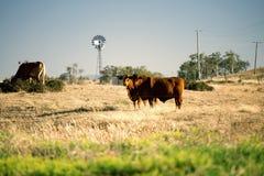 Коровы и ветрянка в сельской местности Стоковая Фотография
