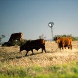 Коровы и ветрянка в сельской местности Стоковое Изображение RF