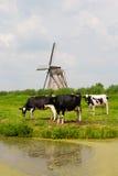 Коровы и ветрянка Стоковая Фотография