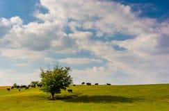 Коровы и дерево на холме, около рощи весны, Пенсильвания Стоковые Изображения RF