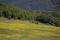 Коровы и желтое поле Стоковые Изображения