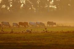 Коровы и заход солнца Стоковое Изображение RF