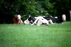 Коровы и икра младенца на пасти и беге луга свободно Стоковое Изображение