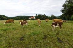 Коровы и икры в выгоне Стоковые Фотографии RF