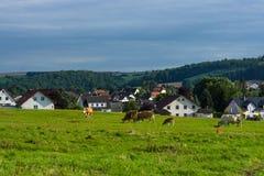 Коровы и икры в выгоне Стоковое Изображение
