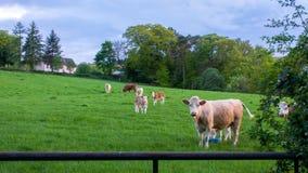 Коровы и икры в поле Стоковые Фотографии RF