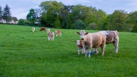 Коровы и икры в поле Стоковое Изображение RF