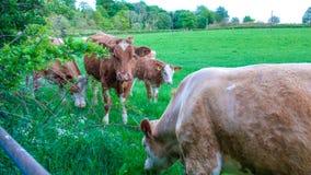 Коровы и икры в поле Стоковое фото RF