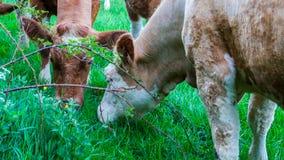 Коровы и икры в поле Стоковое Фото